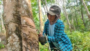 Warga Dusun Cawang Gumilir menyadap karet.