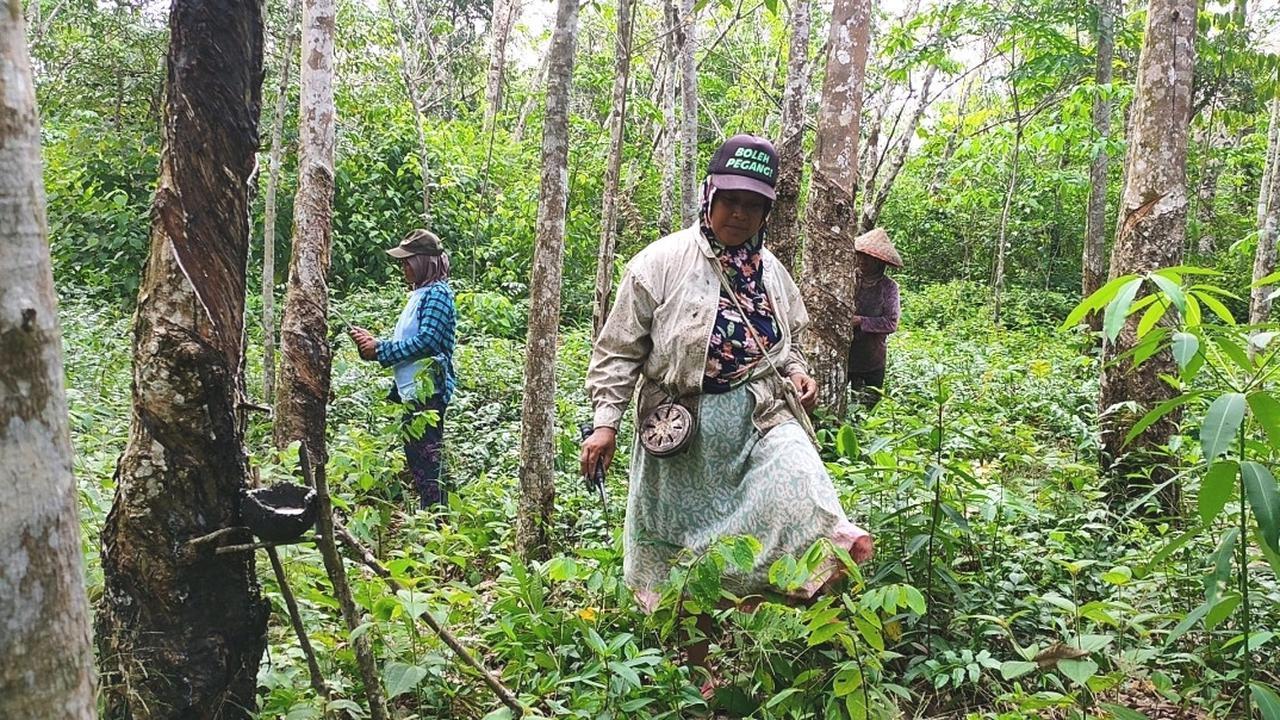 Para perempuan warga Dusun Cawang Gumilir Sumsel, saat menyadap karet .
