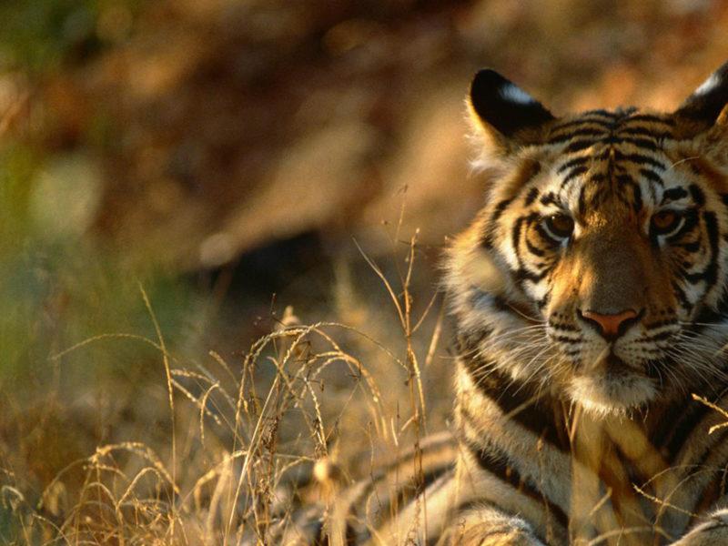 Harimau sumatera (Panthera tigris sumatrae) diambang kepunahan.