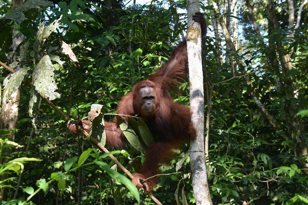 Amber, orangutan betina berusia 16 tahun, dilepasliarkan