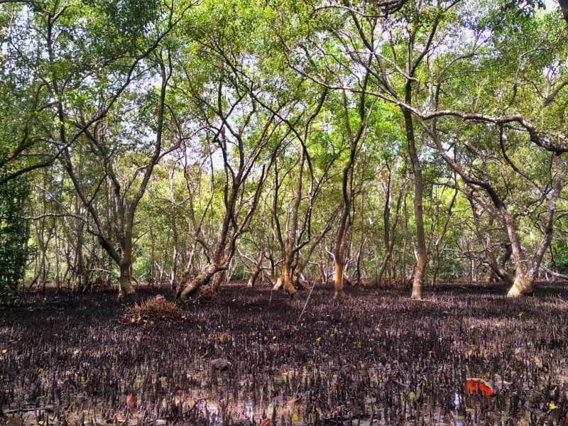 Hutan Mangrove Desa Toseho