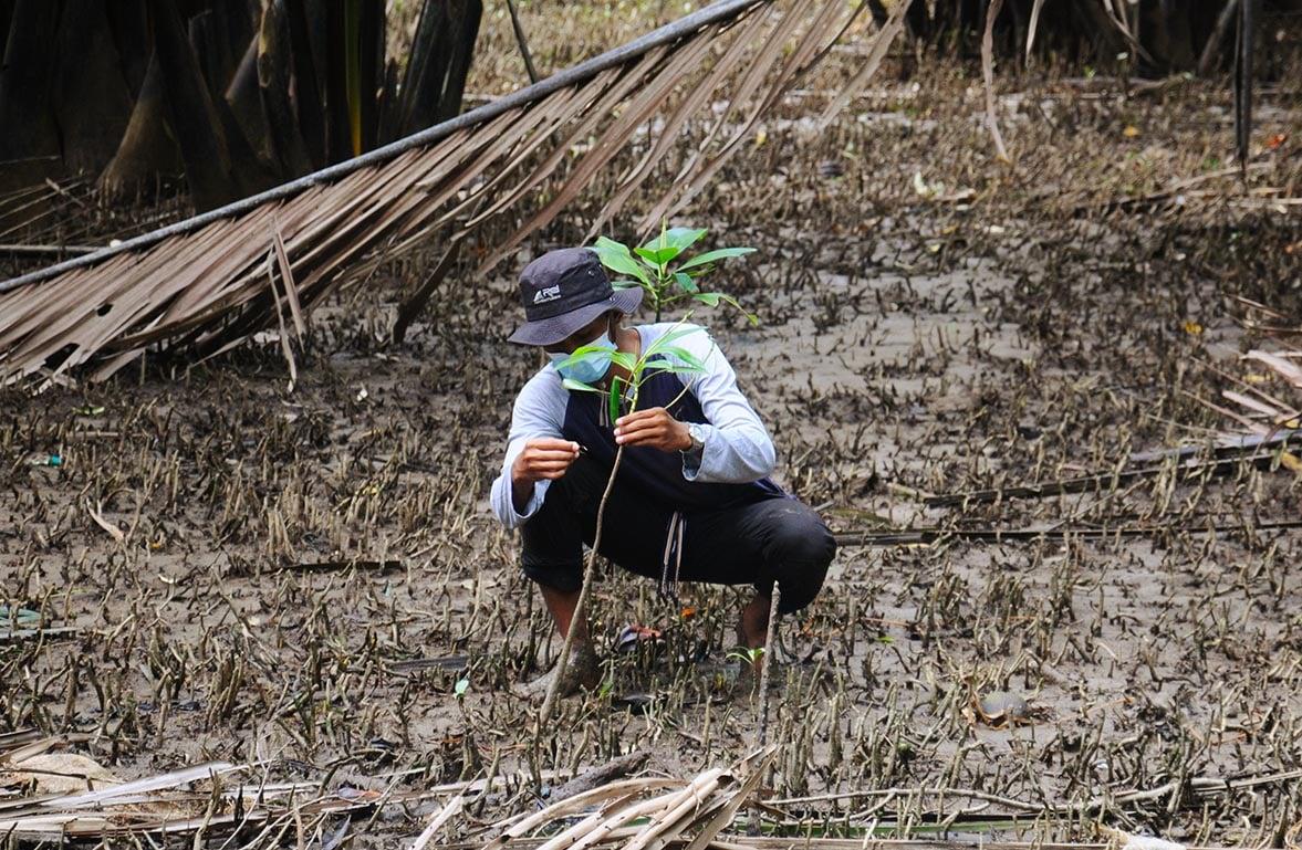 Perawatan mangrove yang diadopsi